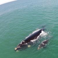 Rota da Baleia Franca: um dos maiores espetáculos de Santa Catarina